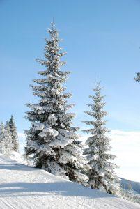 season - クリスマスツリーはもみの木がなくても代用できる木があるのです