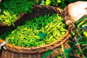 %e3%81%8a%e8%8c%b6 - お茶の木とは何?寿命があるって本当!?